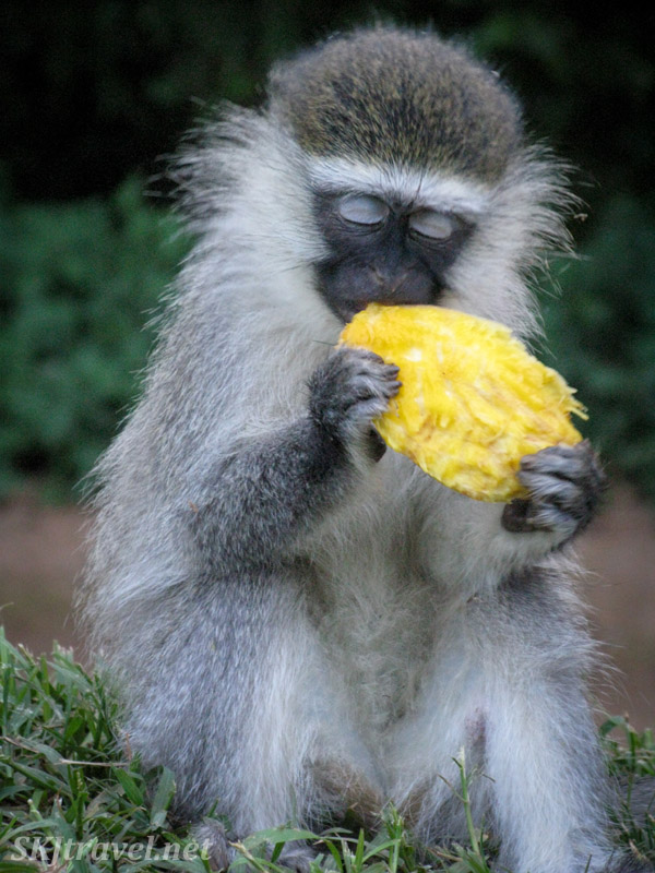 Vervet monkey in heaven after successfully stealing a piece of mango. Uganda.