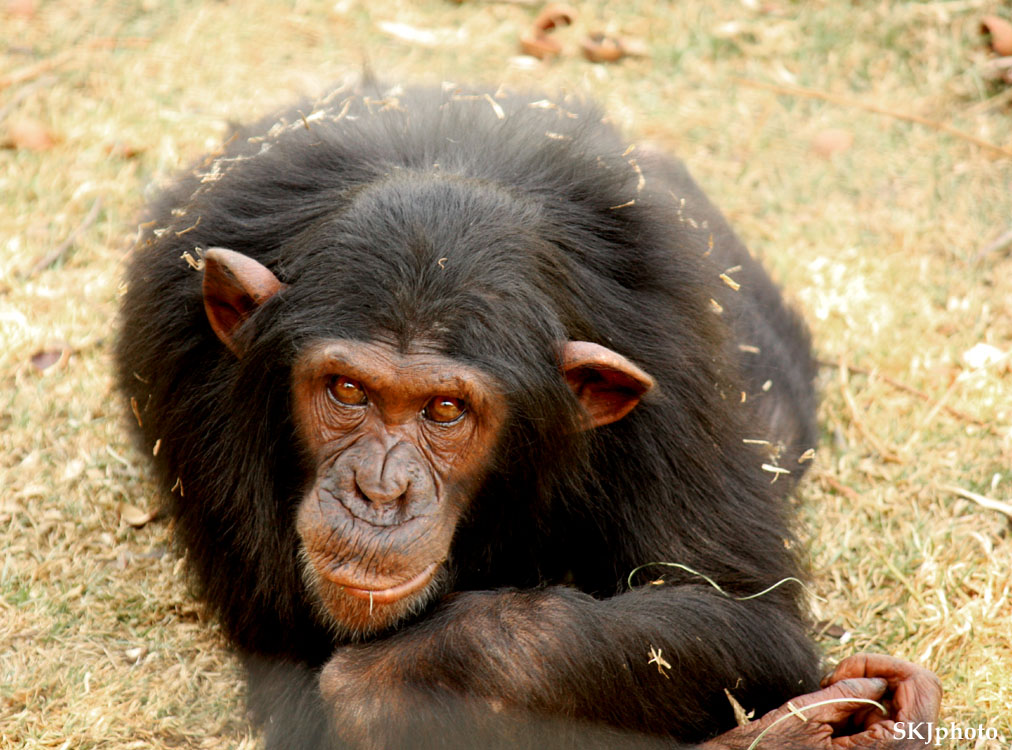 looking into face of chimp