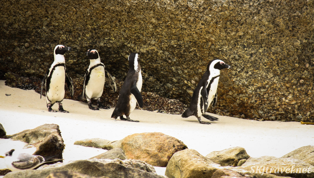 Penguins chatting, Boulder Beach, Cape Town, South Africa.