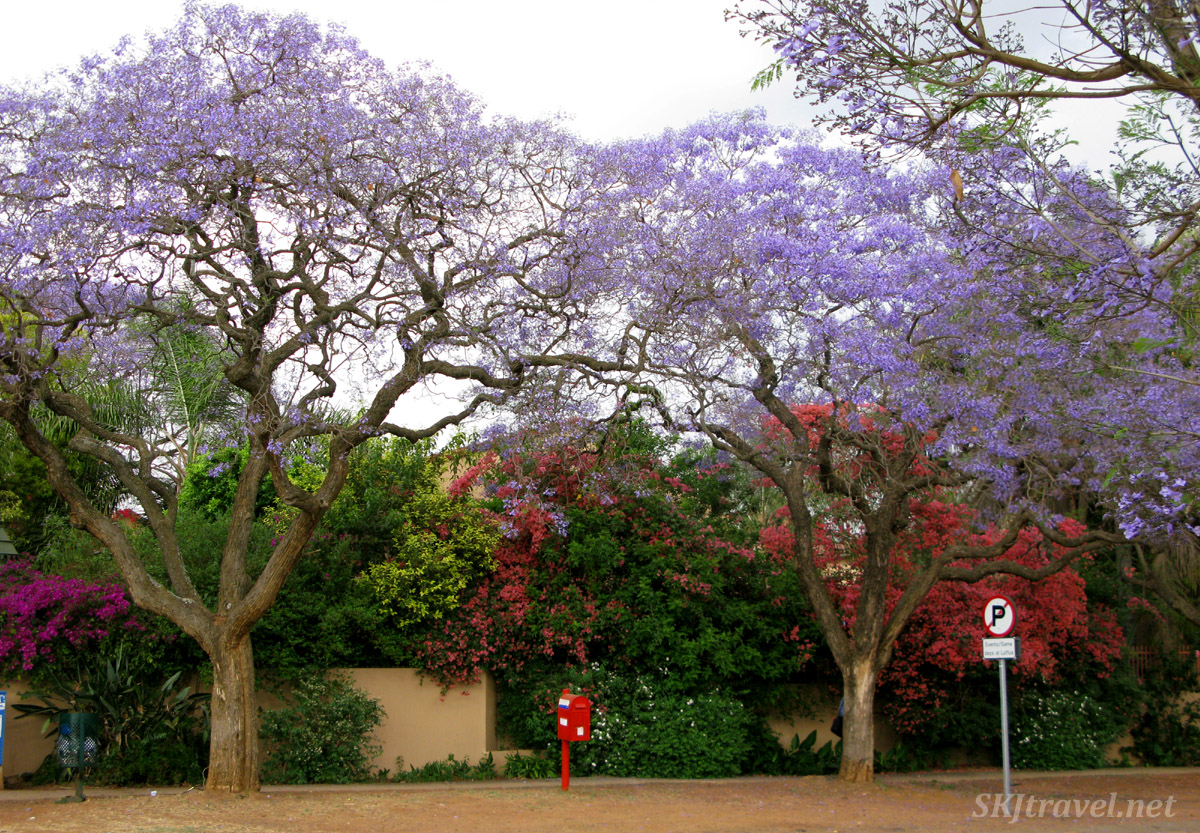 Jacaranda trees in bloom, Pretoria, South Africa.