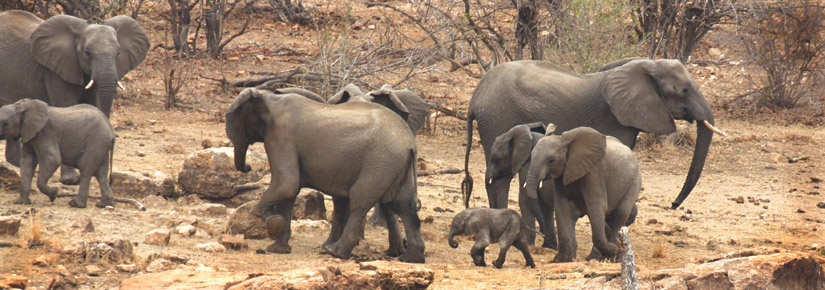 group of elephants including infant