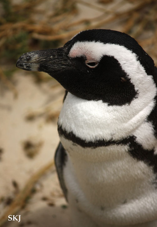 close up of penguin head