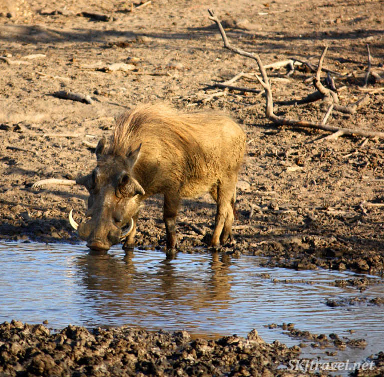 Lone warthog drinking at small water hole.