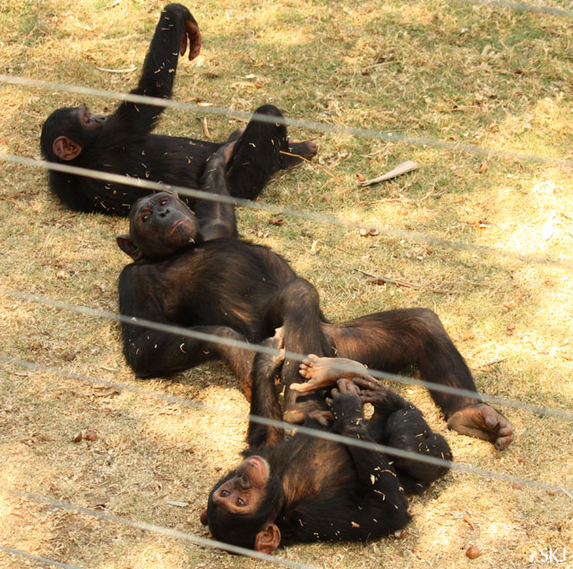 chimpanzees playing in a row