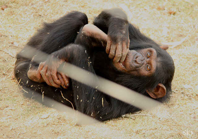 young chimp playing with her feet