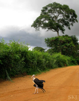 Marabou stork in the road to my flat in the UWEC, Entebbe, Uganda.
