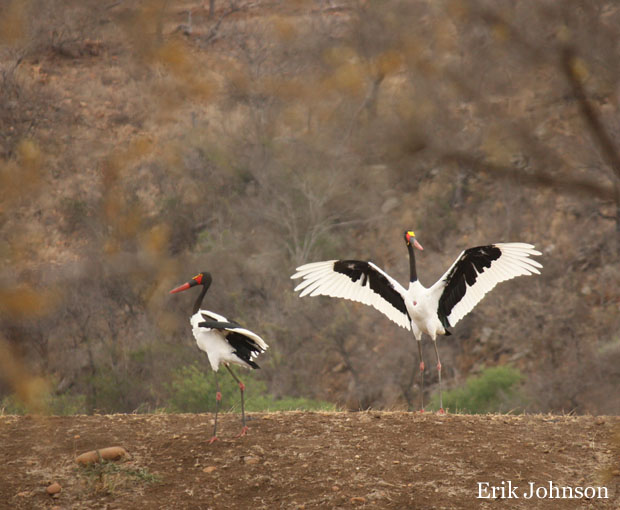 two saddle bill storks one with wings spread