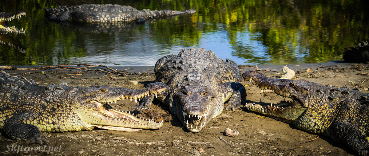 Trio of American crocodiles on the shore of the Popoyote Lagoon at Playa Linda, Ixtapa, Mexico. cocodrilario crocodile reserve