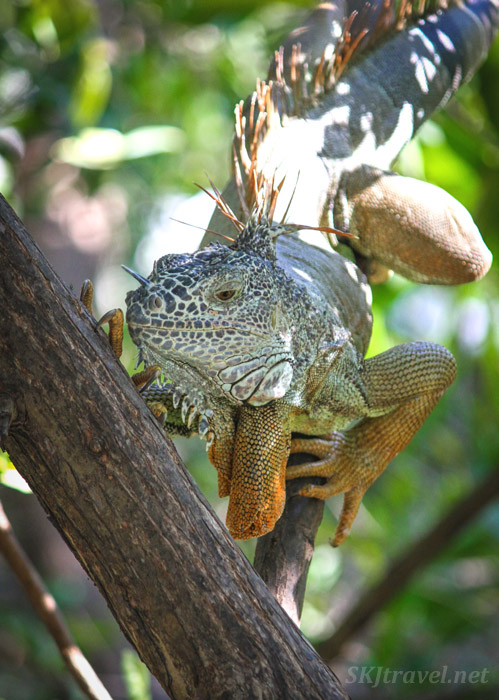 Young male iguana in a tree branch, Popoyote Lagoon, Ixtapa, Mexico. cocodrilario crocodile reserve