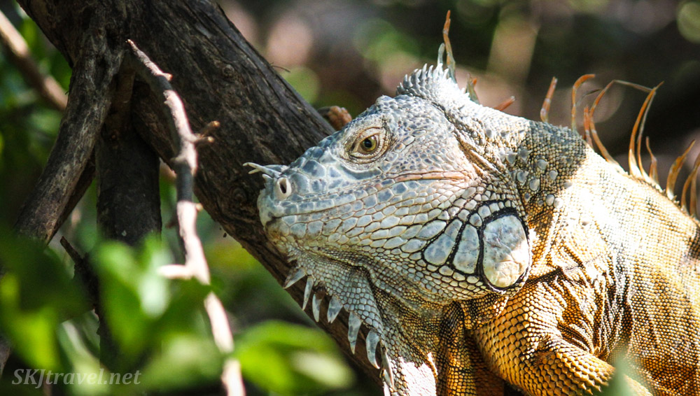 Young male iguana in a tree branch, Popoyote Lagoon, Ixtapa, Mexico.