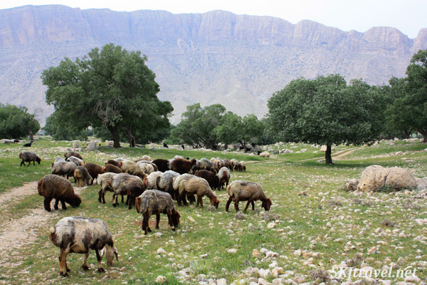 Sheep and goats near our camp with the Qashqai nomads. Zagros Mountains, Shiraz, Iran.
