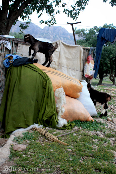 Baby goat climbing around the Qashqai family's camp.