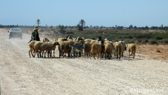 Shepherd with goats crossing the road on Djerba Island, Tunisia.
