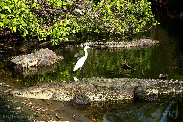 Crocodiles and egret. Popoyote Lagoon, Playa Linda, Ixtapa, Mexico.