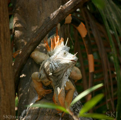 Young male iguana. Popoyote Lagoon, Playa Linda, Ixtapa, Mexico.