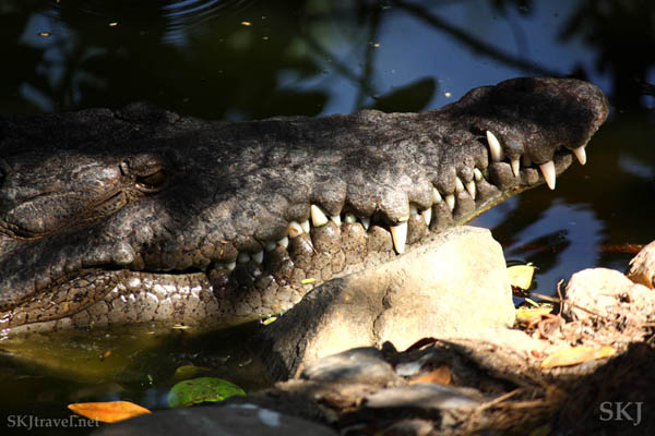 Close-up of American crocodile teeth. Popoyote Lagoon, Playa Linda, Ixtapa, Mexico.