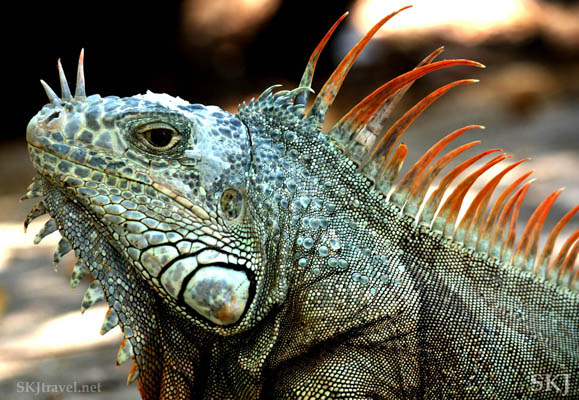 Adult male iguana. Popoyote Lagoon, Playa Linda, Ixtapa, Mexico.