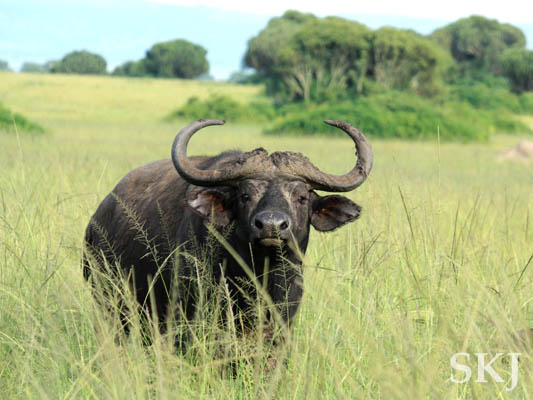 Water buffalo staring placidly at me. Queen Elizabeth National Park, Uganda.