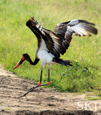 Saddle bill stork taking off in flight. Queen Elizabeth National Park, Uganda.