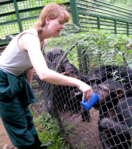Feeding the chimpanzees their morning porridge. Uganda