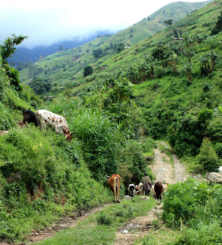 Shepherd with cows in the lower Rwenzoris, Uganda