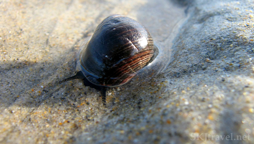 Small snail crawling along the beach sand, Maine. Photo by Shara Johnson