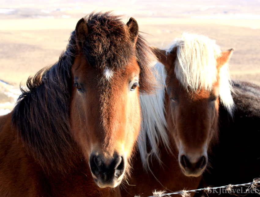Close-up shot of a pair of Icelandic horses, Iceland. Photo by Shara Johnson