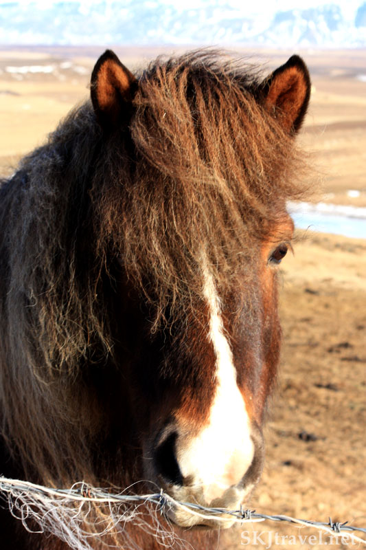 Icelandic horse with black-outlined ears, Iceland. Photo by Shara Johnson