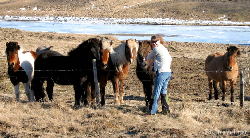 Petting Icelandic horses gathered at a fence.